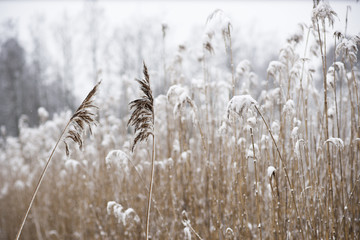 Winter landscape with reeds