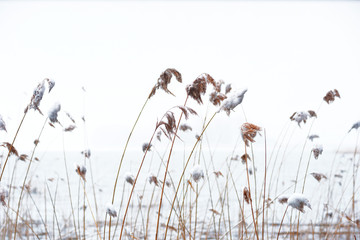 Reeds with snow