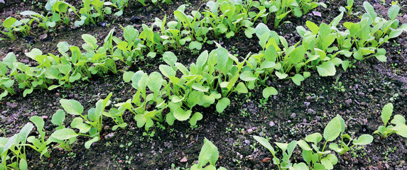 Young radish seedlings