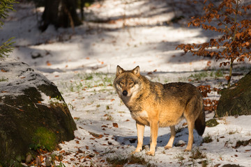 Sguardo del lupo