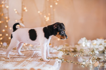 Dog breed Toy fox terrier puppy, Christmas and New Year