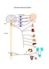 sistema nervoso autonomo, catena parasimpatica