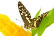 papillon posé sur pachystachys lutea jaune