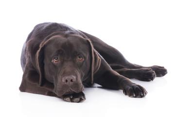 Müder Labrador