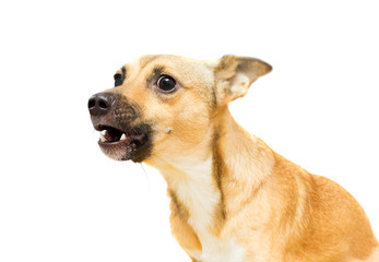 angry doggy on a white background isolated