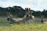 Zebras and foals