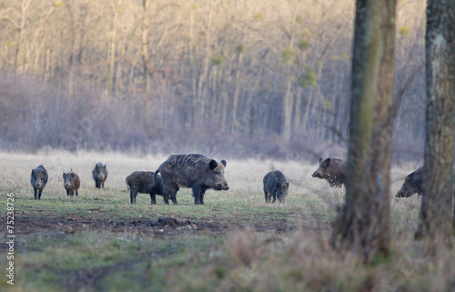 Poster Wild boars