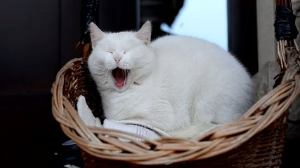 White cat yawns in a basket in front of house