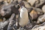 Fototapety Galapaogos Penguin on a Coastal Rock