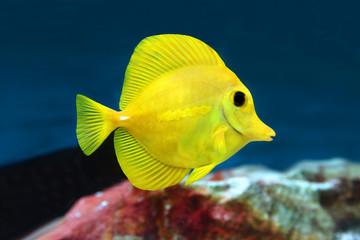 Yellow tang Zebrasoma flavescens saltwater aquarium fish