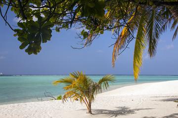 Maldive, piccola palma sulla spiaggia