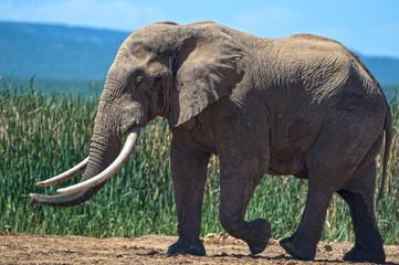 Elephant Giant Side View