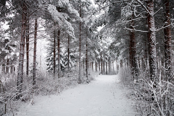 Snowy Road through the snowy forest