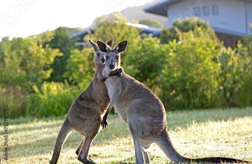 Poster Kangoeroe Hugging kangaroos