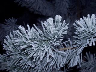 frostiger Tannenzweig im Winter