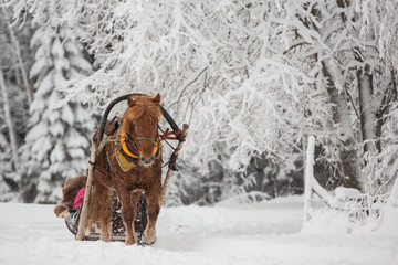 Finnhorse pulling a sledge in snowfall