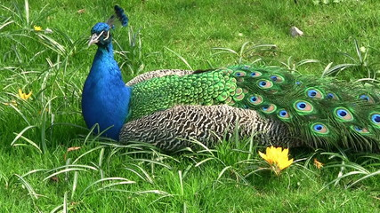 Awesome peacock