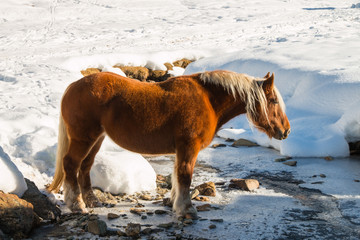 haflinger horse goes drinking on the snow