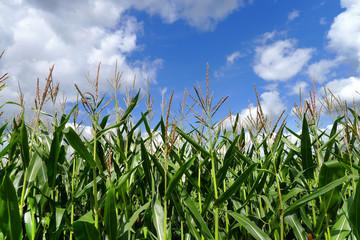 Maispflanzen vor blau-weissem Himmel