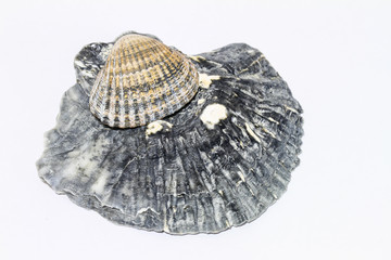Muscheldetails