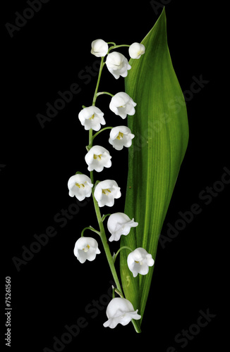 The branch of lilies of the valley flowers isolated on black bac - 75261560