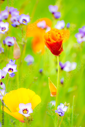 Flowering Summer Medow - 75264159