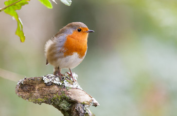 European robin in natural setting