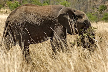 African elephant in Pilanesberg National Park