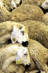 Sheep sleeping in the farm
