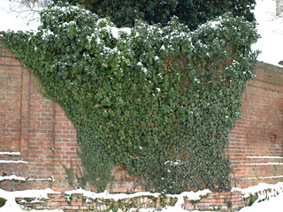 Green Ivy On A Stone Wall