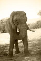 Elefante nel namib