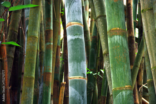 In de dag Palm boom La Réunion - Bambous