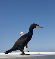 Cormorano e gabbiano
