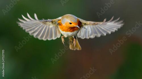 Fotobehang Vogel Robin hovering mid flight
