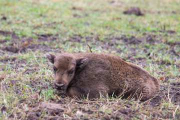 Bison calf lying on the grass