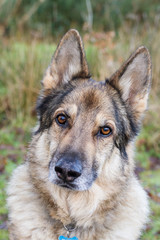 German Shepherd Dog staring at camera