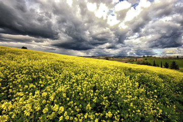 Field of rapeseeds under a dramatic sky.