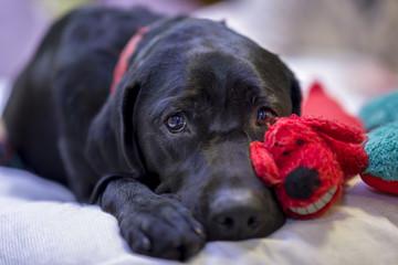 Labrador Retriever Resting Next to Her Christmas Toys