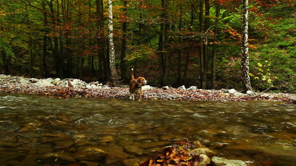 Beagle is hunting near mountain river in autumn period