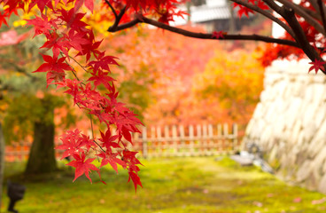 Maple leaves in japan