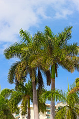 Palm trees in Miami Beach, Florida.