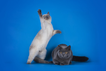 British Shorthair cat couple on a blue background isolated