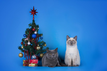 British Shorthair cats couple with a Christmas tree on a blue ba