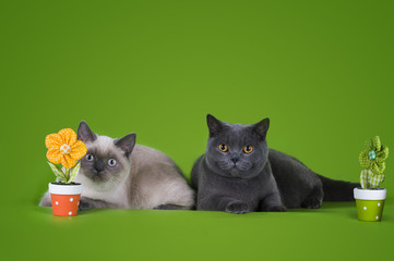 British shorthair cat on a green background isolated