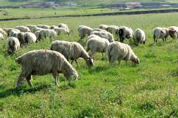 Sheep eat in mountain meadow