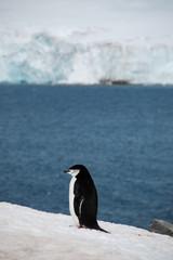物思いにふけるペンギン