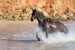 Quarter Horse  - Galopp im Meer - 75290737