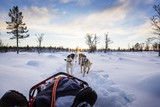 Dog sledding with huskies in beautiful sunset