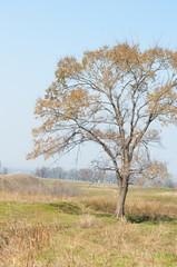 spring elm