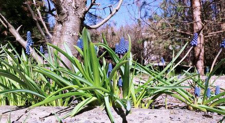 Blue muscari flowers on a sunny day